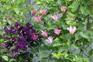 purple & pink clematis