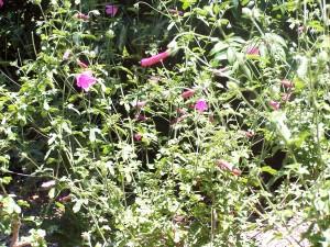 hibiscus geranioides2
